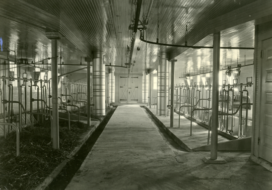 Black and white photograph of the inside of the dairy barn at the Northwest Experiment Station.