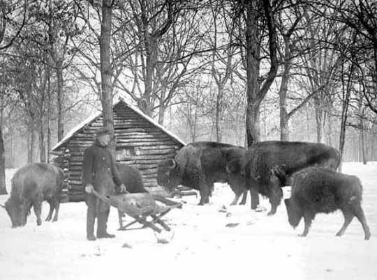 Buffalo (American bison) at Como Zoo