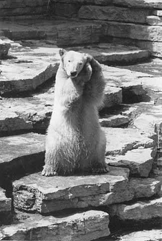 Polar bear at Como Zoo