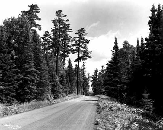 White pines along the Gunflint Trail in Cook County, Minnesota. Photograph by Norton & Peel, July 30, 1954.