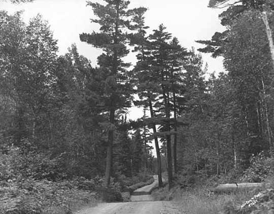 A stand of native pines towers over the Gunflint Trail. Photograph by Norton & Peel, July 5, 1932.