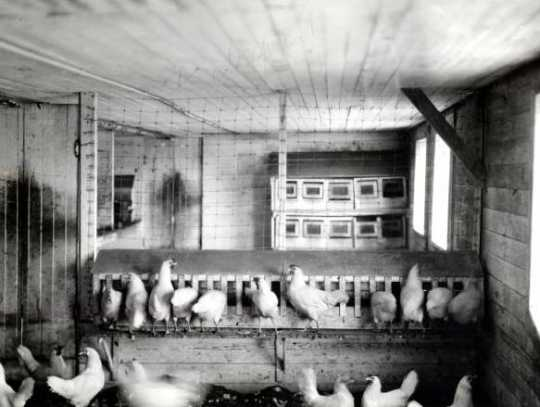 Black and white photograph of the poultry house at the Northwest Experiment Station.