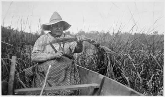 Tying wild rice stalks