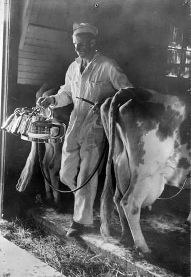 Black and white photograph of a farmer adjusting a milking machine on a Dakota County dairy farm, 1939. Photographed by Arthur Rothstein, Farm Security Administration.