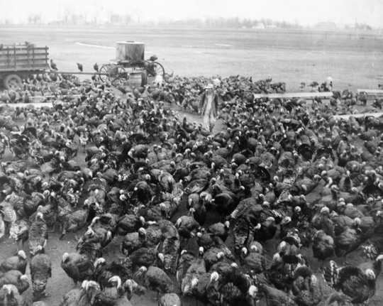 Black and white photograph of a turkey farm, ca. 1950.