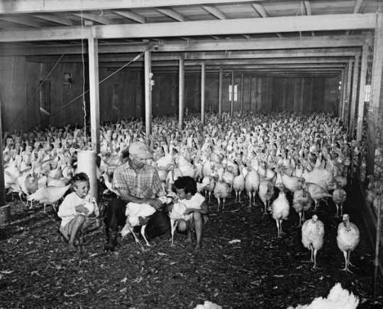 Black and white photograph of the interior of a turkey barn, ca. 1947.
