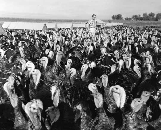 Black and white photograph of a turkey farm at Worthington, Minnesota, ca. 1960.