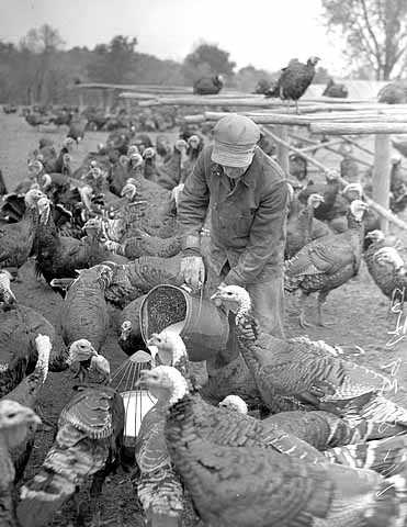 Black and white photograph of a man feeding turkeys, ca. 1930. Photograph by Minneapolis Journal.