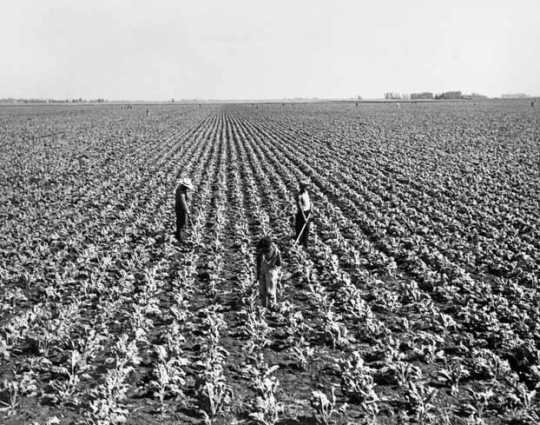 Black and white photograph of Sugar beet cultivation in the Red River Valley, ca. 1940.