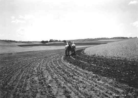 Black and white photograph of contour cultivation of corn on the Walter Fox farm near Faribault, 1938.