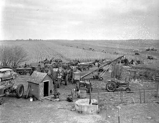 Farmers picking corn, ca. 1950.