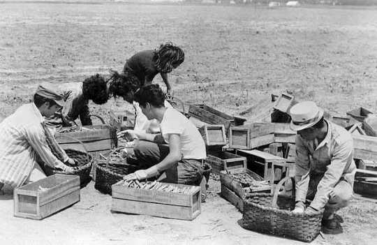 Black and white photograph of Mexican American migrant farm workers harvesting asparagus near Owatonna, c. 1955.