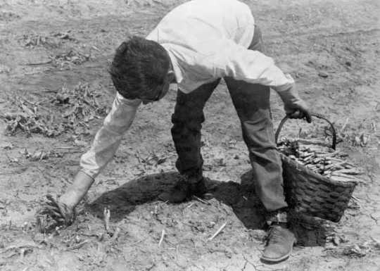 Black and white photograph of a Mexican American migrant farm worker harvesting asparagus near Owatonna, ca. 1955.