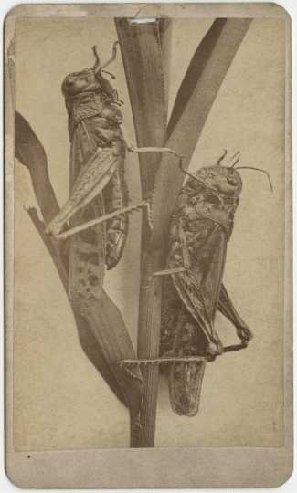 Minnesota locusts of the 1870s