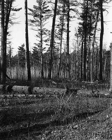 Black and white photograph of Pine woods at Lake Itasca, 1900.