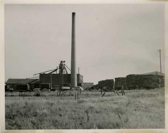 Schweitzer Flax Plant