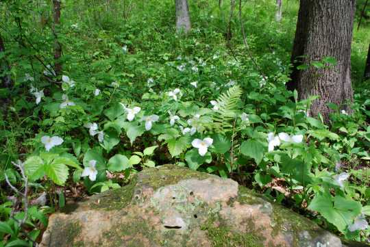 Color image of Spring trillium at Interstate State Park, 2013. Photograph by Minnesota Department of Natural Resources Staff.