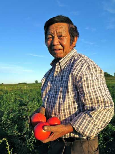 Wang Ger Hang harvesting tomatoes