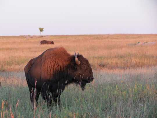 Color image of a Bison herd, 2014. From the photograph collection of the Minnesota Department of Natural Resources.