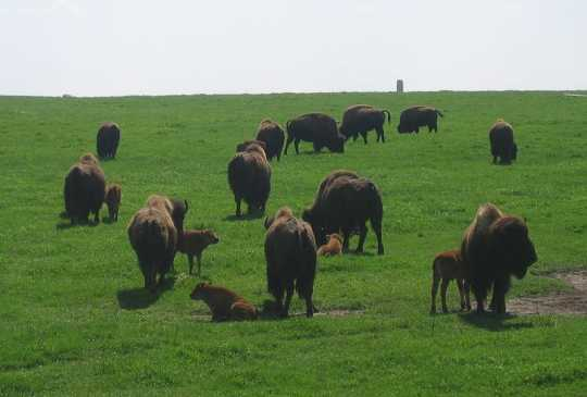 Color image of adult bison and calves at Blue Mounds State Park, 2007. Photograph by Wikimedia Commons user Rigadoun.
