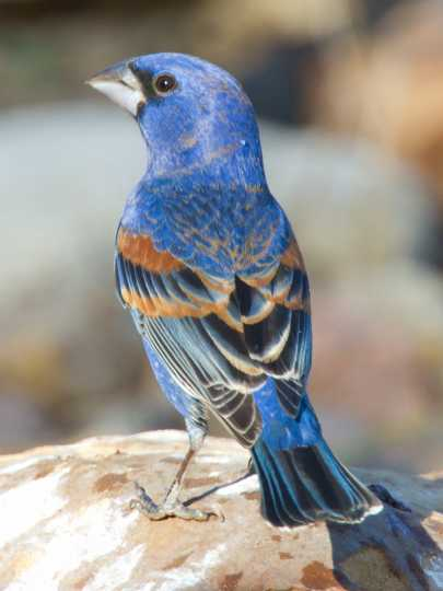 Color image of a Blue grosbeak, April 27, 2011. Photograph by Wikimedia Commons user Dan Pancamo.