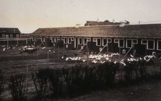 Black and white photograph of chickens outside of their coops on the NWSA campus, 1920s.