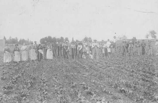 Black and white photograph of workers hoeing sugar beets in a field in Carver County. Date and photographer unknown.