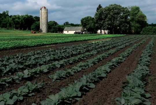 Farm in Dakota County cultivated by the Hmong Americans Farmers Association