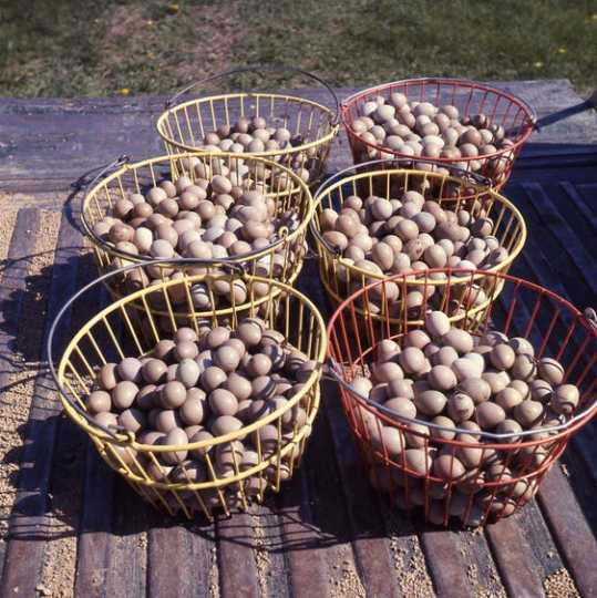 Baskets of pheasant eggs at the Carlos Avery Wildlife Management Area