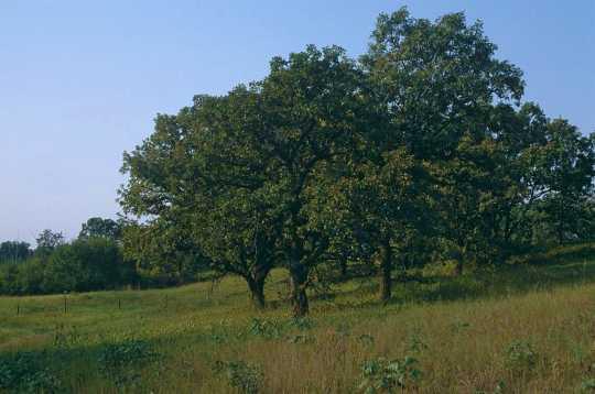 Color image of an oak savanna in summer, ca. 2010.