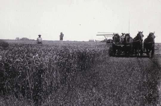 Black and white photograph of swathing equipment and grain being swathed by a team of four horses during the fall harvest, 1910.