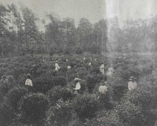Tea plantation organized by William Gates LeDuc